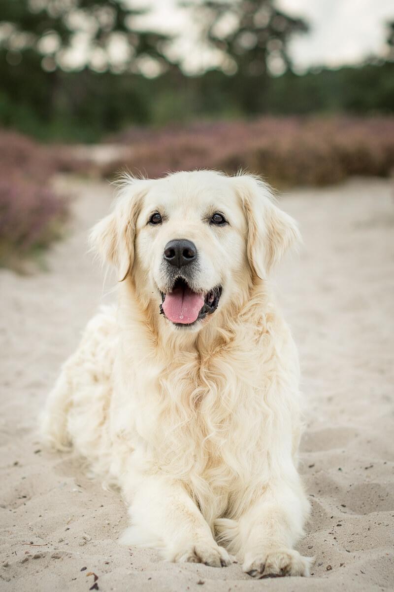 Fotoshoot met hond friese stabij border collie reeuwijk