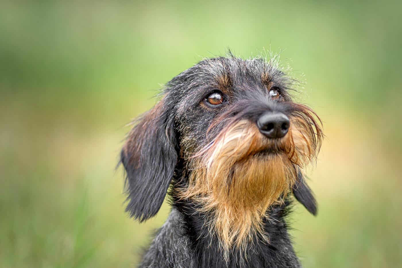 Fotoshoot met hond mini teckel Hoorneboegse heide