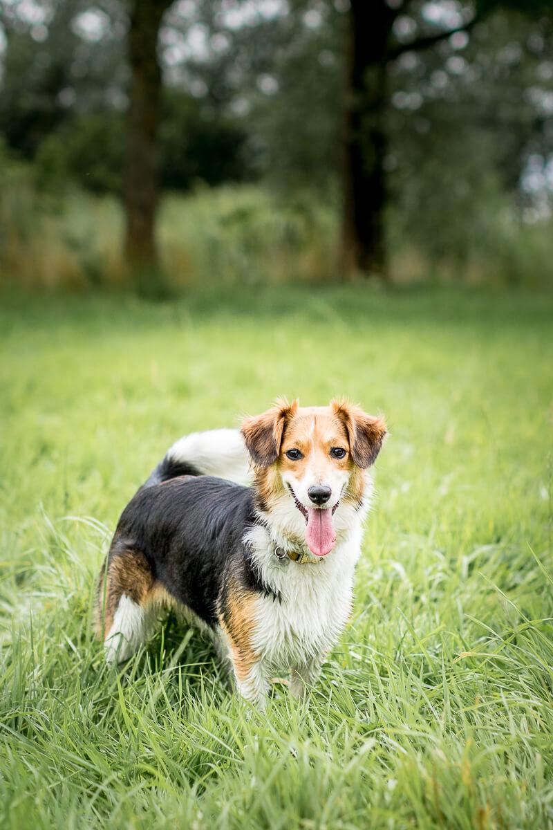 Fotoshoot met je hond hondenfotograaf Border Collie Sheltie Reeuwijkse Hout