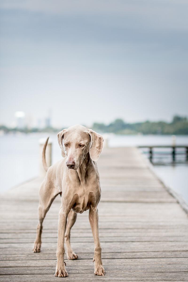 Fotoshoot met je hond hondenfotograaf Weimaraner kralingse bos Rotterdam