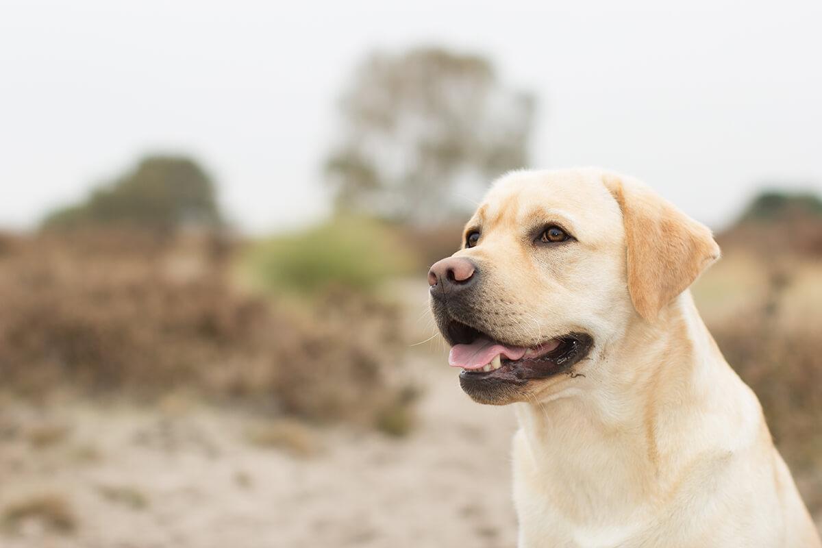 Fotoshoot met een Labrador op de Hilversumse hei
