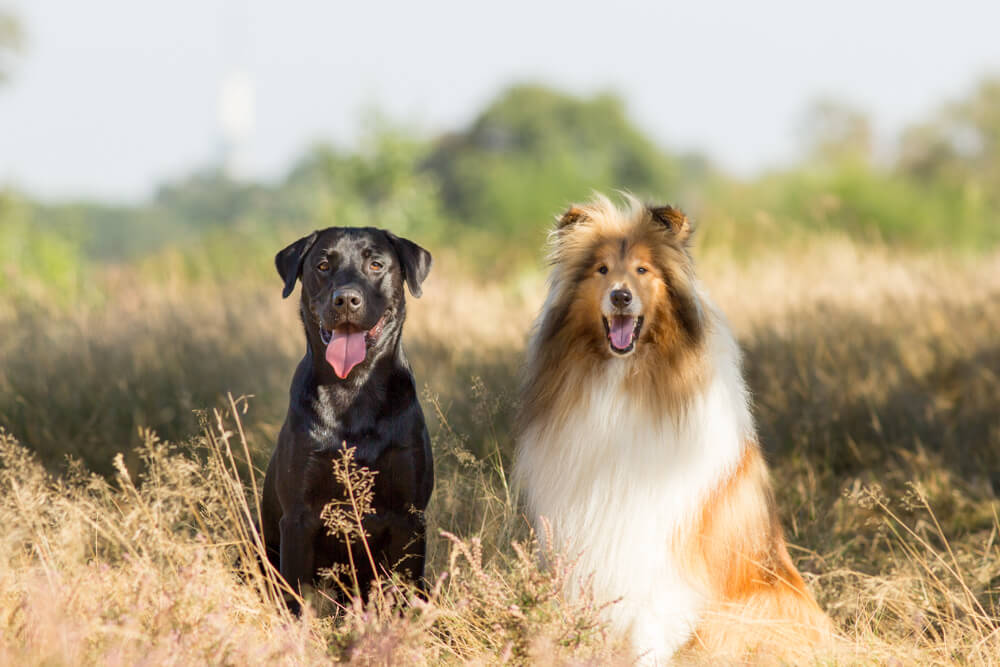 Fotoshoot met hond Labrador en Schotse Collie Duke en Dolan en baasjes in Hoorneboegse Heide-duke & dolan-samen op de foto