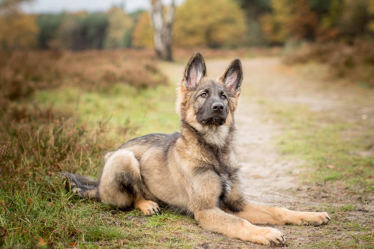Fotoshoot met hond oud duitse herder huizen