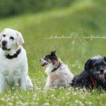 drie honden zitten naast elkaar in het gras