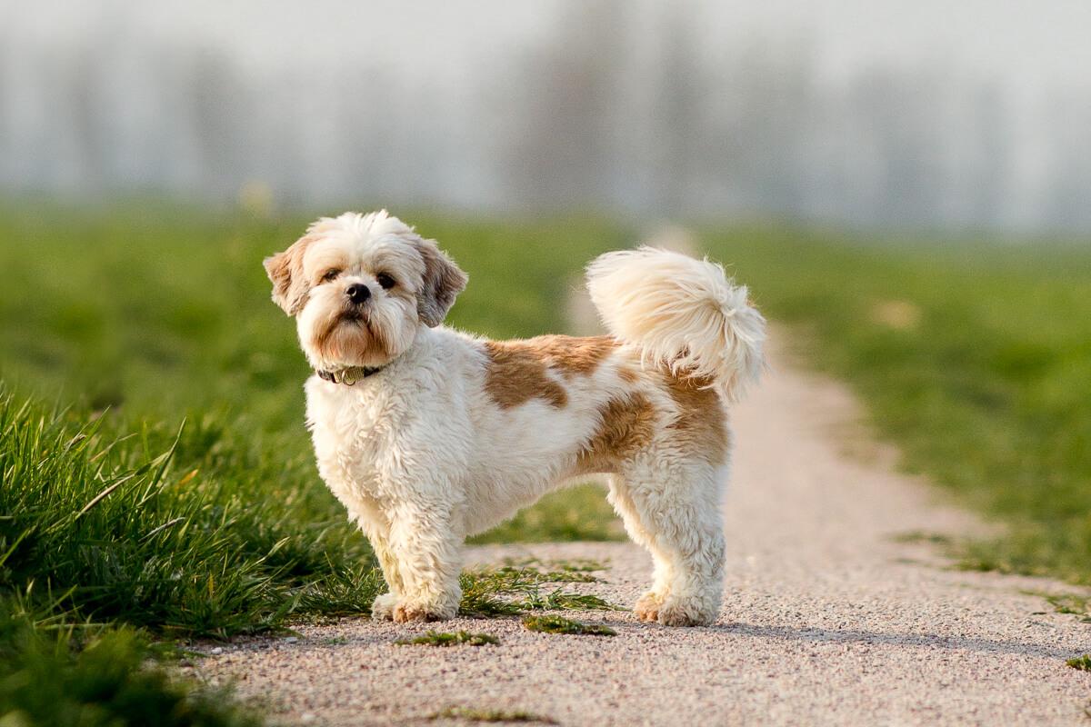 Portret van een Boomer hondje in de polder van Cabauw