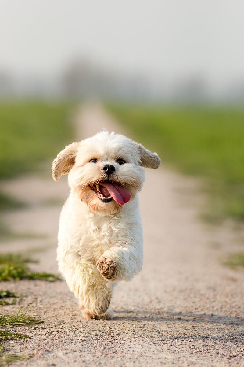Fotoshoot met hond boomer-kruising-Maltezer-Shi-Thu-Cabauw-polder
