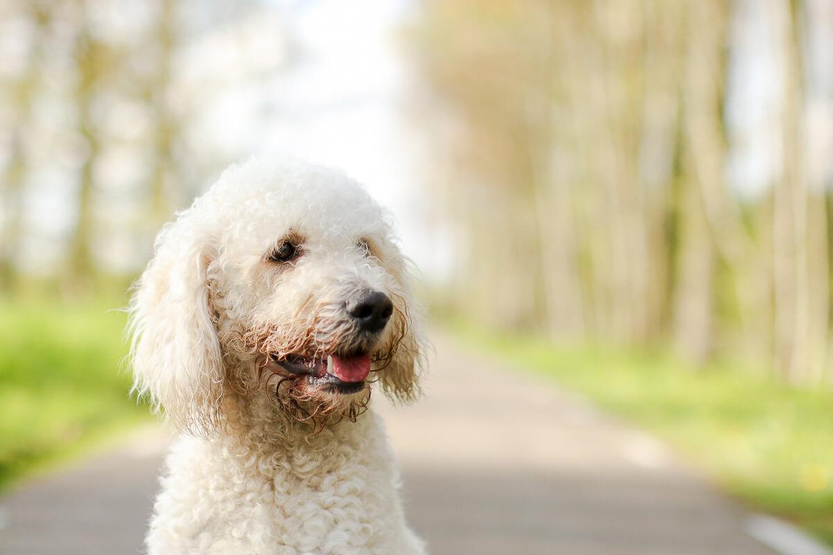 Portret van een Labradoodle hond in het Linschoterbos