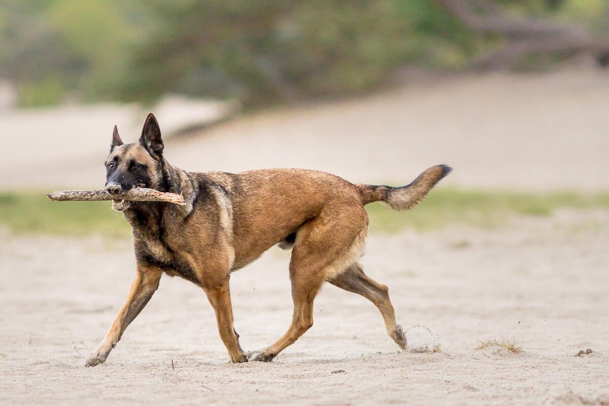 Mechelse herdershond wandelt met zijn stok in Soestduinen