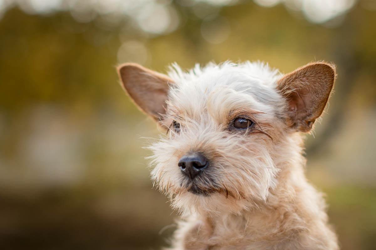 portret van een kleine ruwharige hond